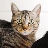 Sassi, Chat europeen à adopter