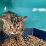 Flamby c16747, Chat europeen à adopter