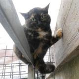 Hulotte, Chat europeen à adopter