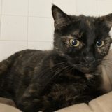 Pheobe, Chat europeen à adopter