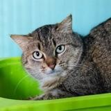 Soja, Chat europeen à adopter