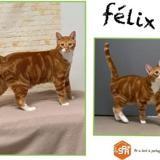 Félix, Chat europeen à adopter