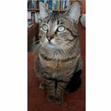 Sven, Chat europeen à adopter