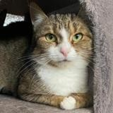 Tiara, Chat europeen à adopter