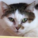 Raya, Chat europeen à adopter