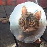 Waïkiki, Chat europeen à adopter