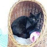 Rikita, Chat europeen à adopter