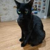 Jappeloup, Chat europeen à adopter