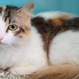 Roma , Chat europeen à adopter