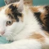 Celia, Chat europeen à adopter