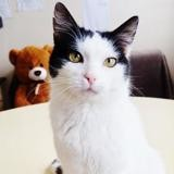 Menthos, Chat europeen à adopter