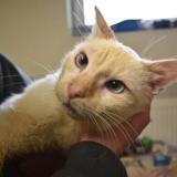 Rinou, Chat europeen à adopter