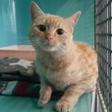 Skitty , Chat europeen à adopter