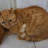 Lyona, Chat europeen à adopter