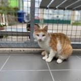Rouxy, Chat europeen à adopter