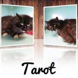 Tarot, Chat europeen à adopter
