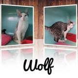 Wolf, Chaton europeen à adopter