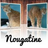 Nougatine, Chat europeen à adopter