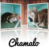 Chamalo, Chat europeen à adopter