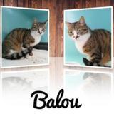 Balou, Chat europeen à adopter