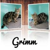 Grimm, Chat europeen à adopter