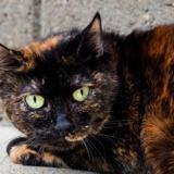 Paprika, Chat europeen à adopter