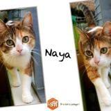 Naya, Chat europeen à adopter