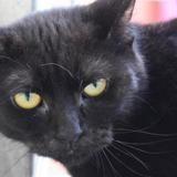 Yzma, Chat europeen à adopter