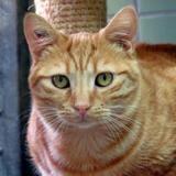 Rosty, Chat européen à adopter