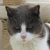 Huguette, Chat européen à adopter