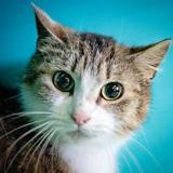 Karlinette, Chat europeen à adopter