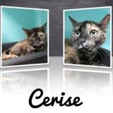 Cerise, Chat europeen à adopter