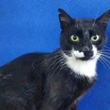Patte blanche cha13681, Chat europeen à adopter