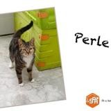 Perle, Chat europeen à adopter