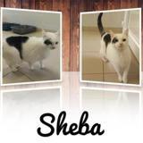 Sheba, Chat européen à adopter