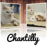 Chantilly, Chat europeen à adopter