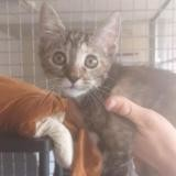 Peppers, Chaton europeen à adopter