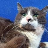 Hades cha13678, Chat europeen à adopter
