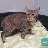 Agate, Chat europeen à adopter