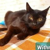 Withney, Chat europeen à adopter