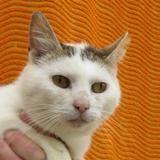 Mercure, Chat europeen à adopter