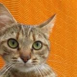 Andromie, Chat europeen à adopter