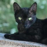 Blackette, Chat europeen à adopter