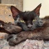 Montana, Chat europeen à adopter