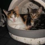 Pandore, Chat européen à adopter