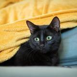 Savéa, Chat europeen à adopter