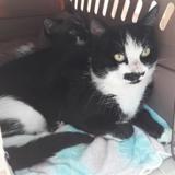 Berkley , Chat europeen à adopter