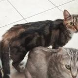 Melissandre, Chat europeen à adopter