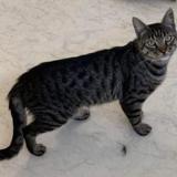 Titou, Chat europeen à adopter