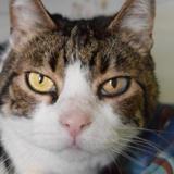 Miaou, Chat européen à adopter